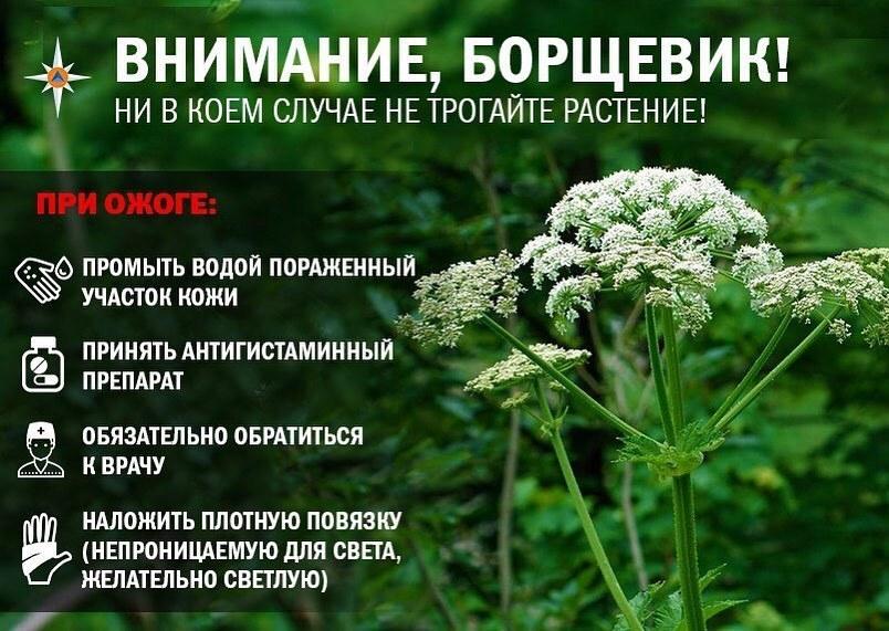 Ядовитое растение можно встретить в окрестностях Геленджика